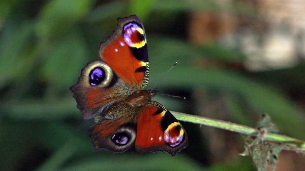 T wie Tagpfauenauge | Mit den großen Augen versucht der Schmetterling, Fressfeinde zu erschrecken.<br/>| Bild: BR | Text und Bild Medienproduktion GmbH & Co. KG | Rechte: BR | Text und Bild Medienproduktion GmbH & Co. KG